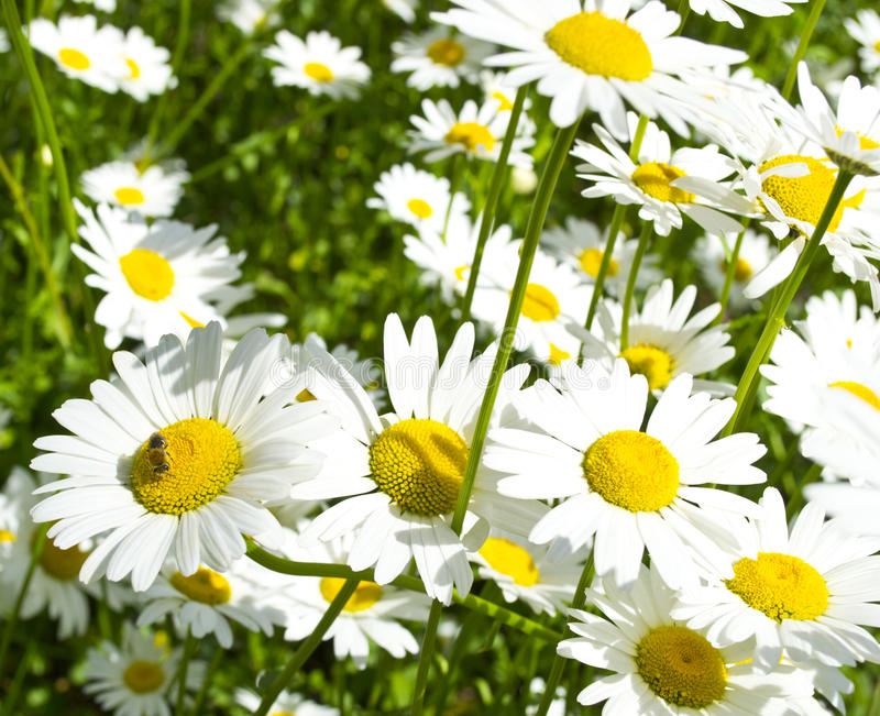 Beautiful chamomile. The bee flies in a daisy field stock photo