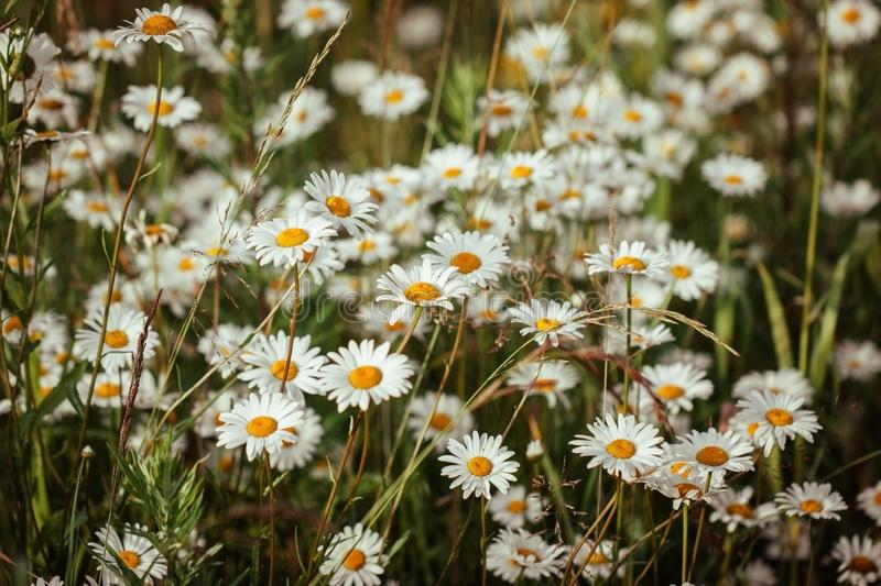 Beautiful chamomile field at sunset. White daisies in a meadow on a green background. Landscape at sunset. Floral pattern royalty free stock photography