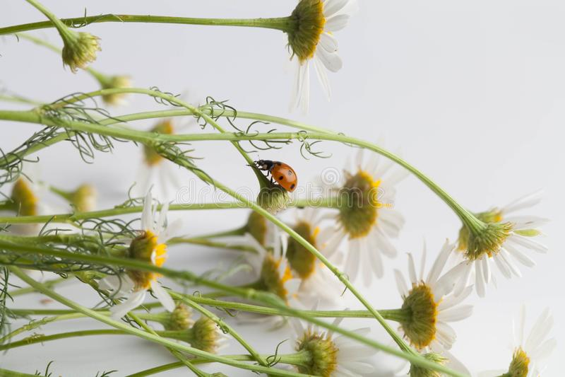 Beautiful chamomile flowers with ladybug on white background royalty free stock image