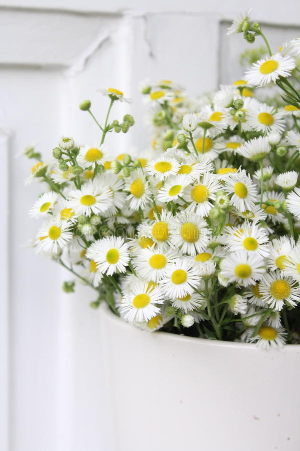 Beautiful Chamomiles in a garden stock photography