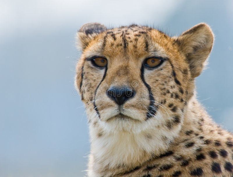 Beautiful Cheetah Stock Image. Image Of African, Outside