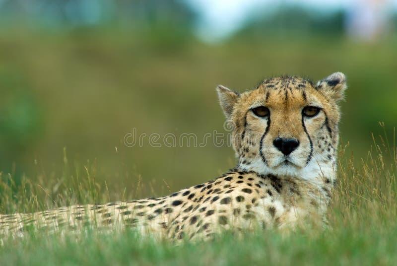 Beautiful cheetah