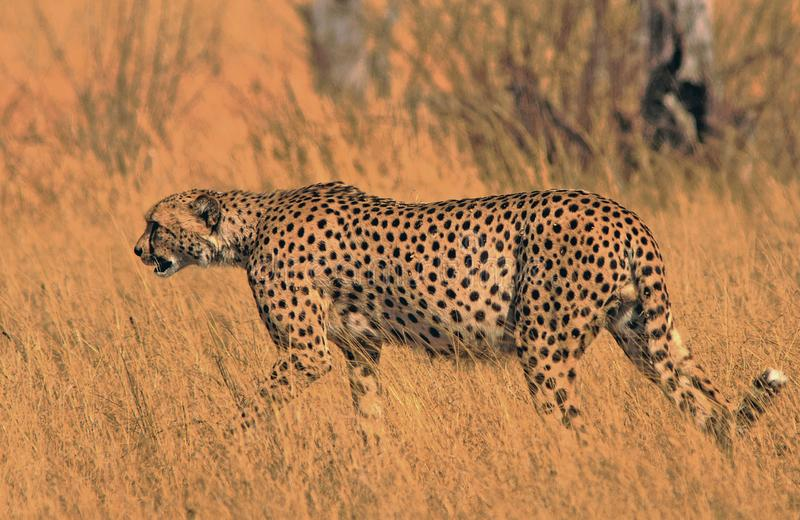 Beautiful cheetah walking across the dry yellow savannah in Hwange National Park, Zimbabwe. GNice Golden stock photo