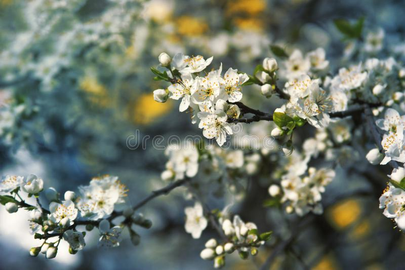 Beautiful cherry blooming in April. Spring flowers in garden. Cherry tree blossom on blue background. Beautiful gentle white. Flowers. Sunny spring day in green royalty free stock photography