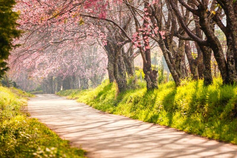 Beautiful cherry blossom royalty free stock photo