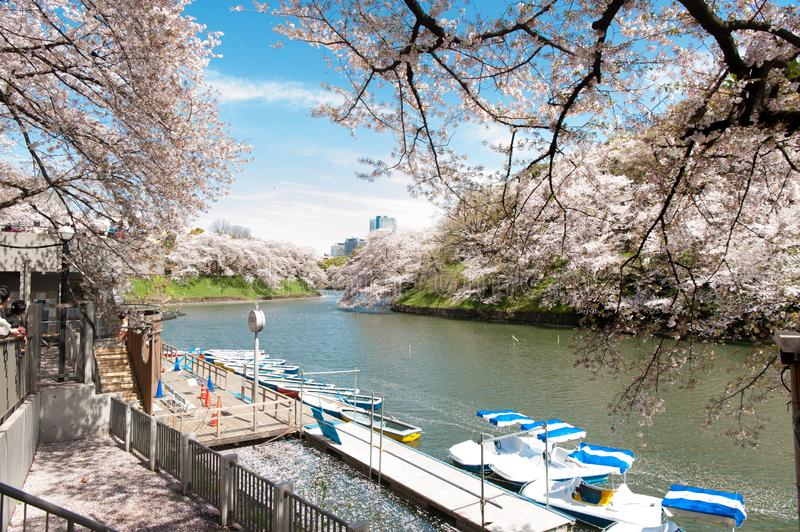 Beautiful  Cherry blossom festival at Chidorigafuchi Park,  Tokyo, Japan. Beautiful Cherry blossom festival at Chidorigafuchi Park, Tokyo, Japan royalty free stock photo