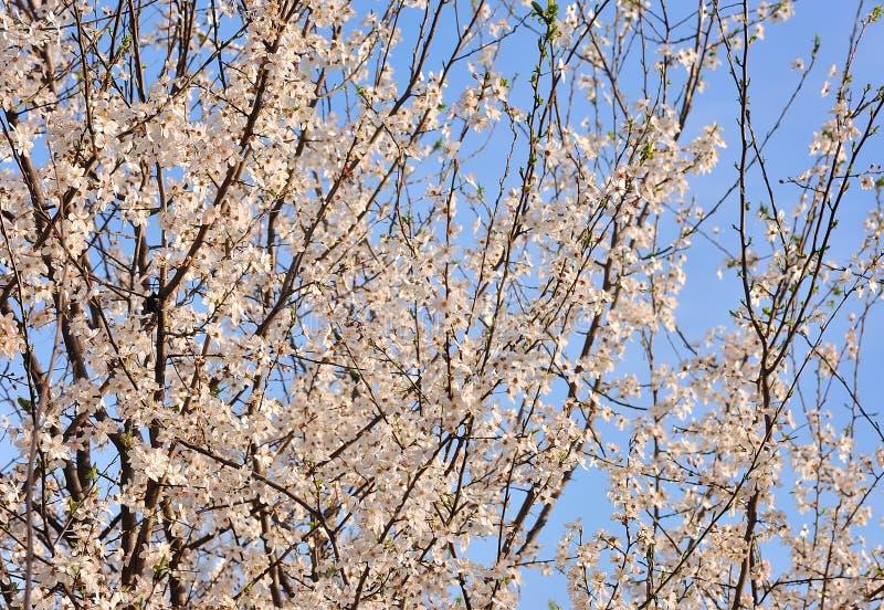 Beautiful cherry blossom stock photos