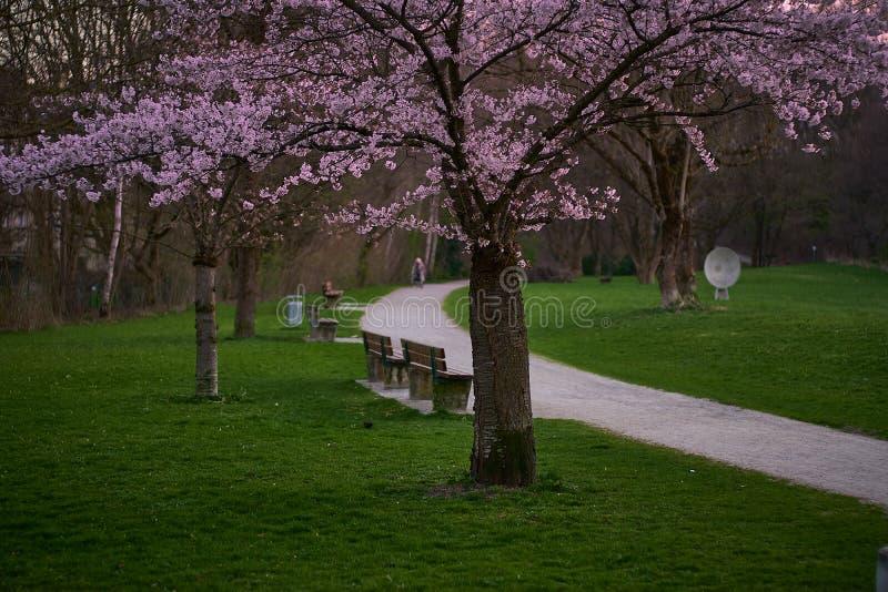 Beautiful cherry blossom sakura in the English garden in munich royalty free stock photos