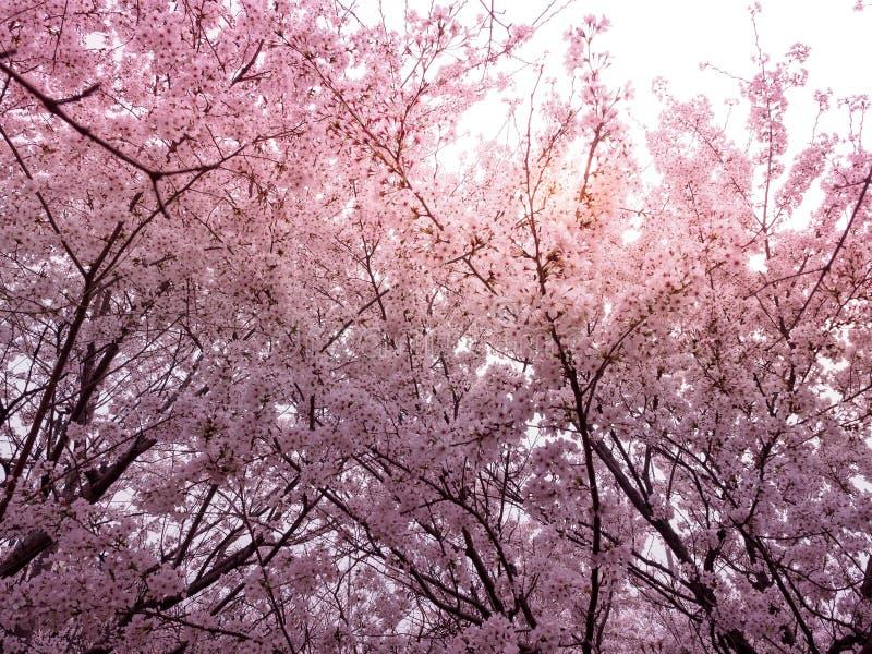 Beautiful cherry blossom sakura in spring. Time stock photography