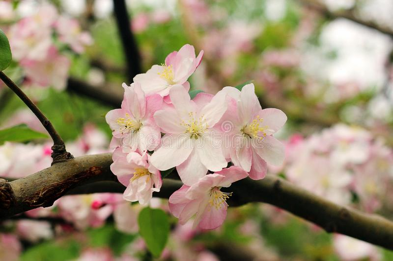 Beautiful cherry blossom, sakura in spring time Image stock images