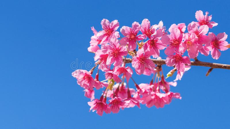 Beautiful cherry blossom sakura in spring time over blue sky, Cherry blossoms on blue sky background stock images