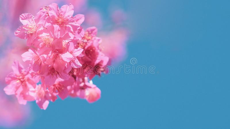 Beautiful cherry blossom sakura in spring time over blue sky, Cherry blossoms on blue sky background.  royalty free stock photo
