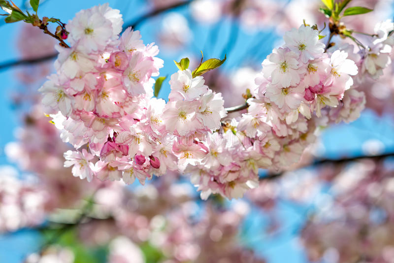 Beautiful cherry blossom sakura in spring time over blue sky. royalty free stock photography