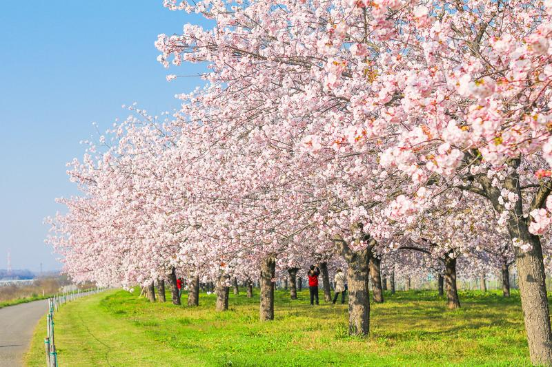 Beautiful cherry blossom trees or sakura blooming beside the country road in spring day. royalty free stock images