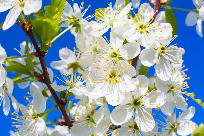 Beautiful cherry blossoms in spring over clear blue sky royalty free stock photos
