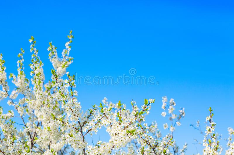 Beautiful cherry blossoms white flowers in spring time in sunny day royalty free stock photography