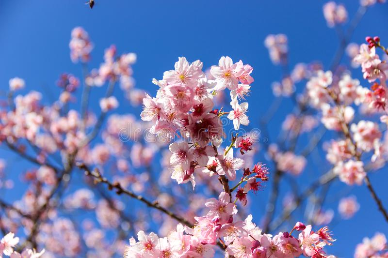 A beautiful cherry tree with blue sky stock images