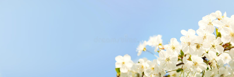 Beautiful cherry tree. Amazing spring blossom. Beautiful cherry tree on sunny day. Amazing spring blossom royalty free stock image