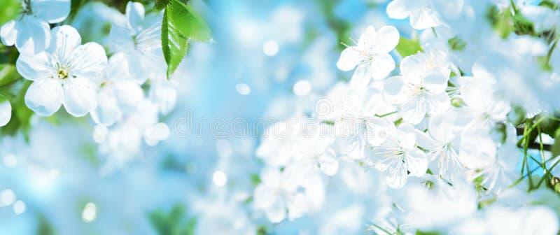 Beautiful cherry tree with flowers. Amazing spring blossom. Beautiful cherry tree with tender flowers. Amazing spring blossom stock photo