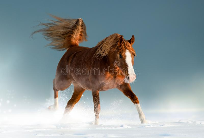 Beautiful chestnut arabian horse in winter. Playing in snow royalty free stock photo