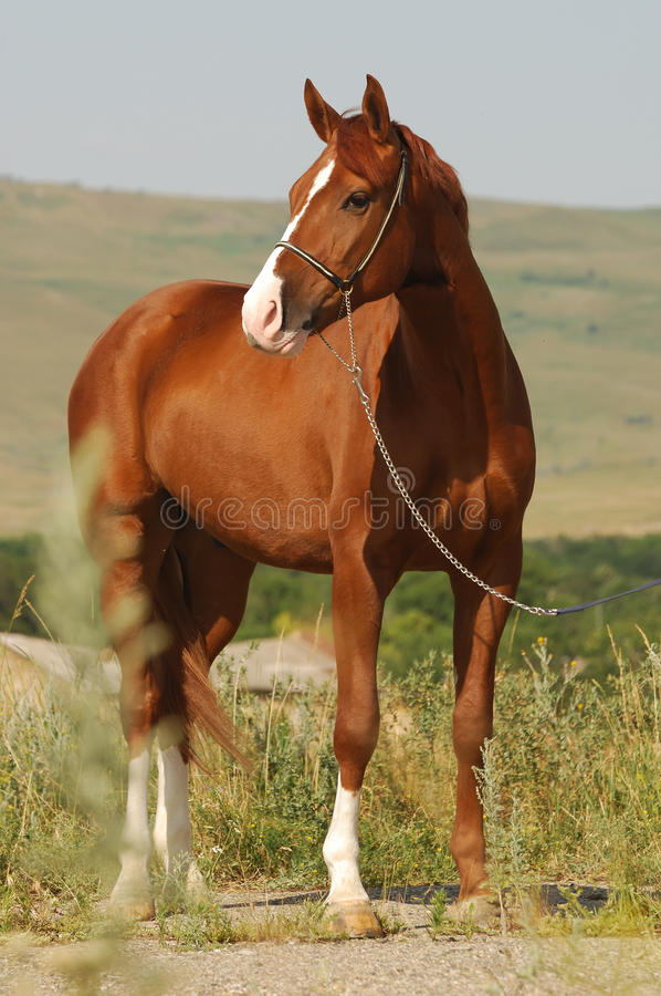 Beautiful chestnut gelding standing in the grass stock photo