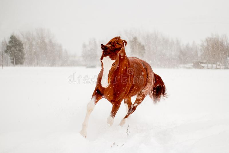 Beautiful chestnut horse running free in the snow stock images