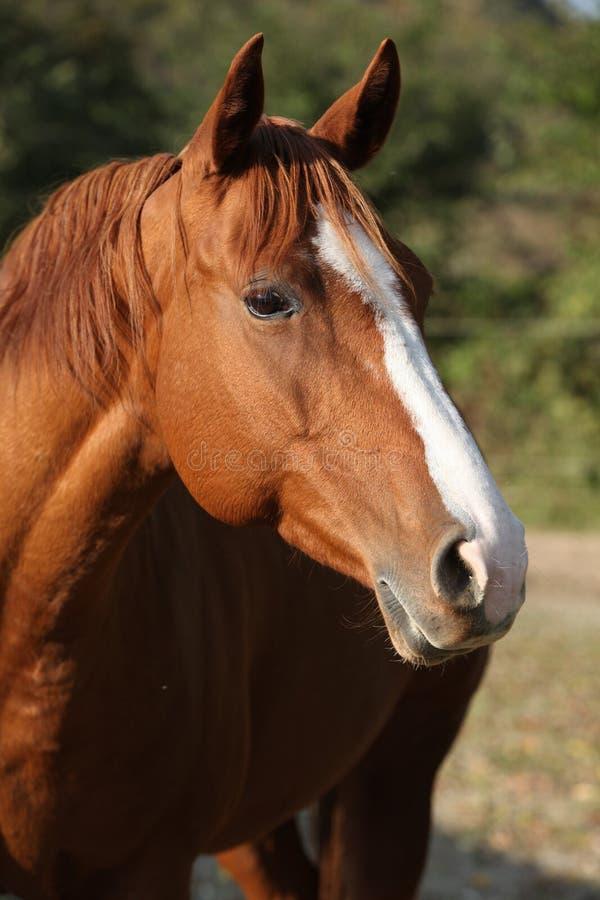 Beautiful chestnut quarter horse in autumn royalty free stock photos