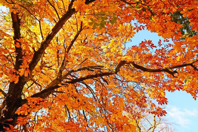 Beautiful,chestnut tree branches stock photos