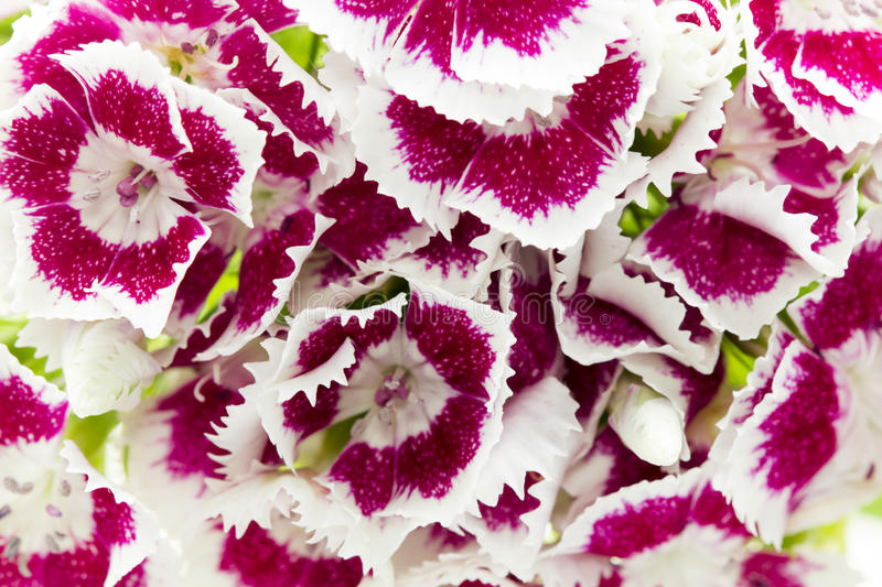 Beautiful chinese carnations (Dianthus chinensis) royalty free stock photos