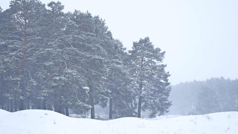Beautiful christmas blizzard tree nature in winter landscape in late evening in snowfall landscape. Beautiful christmas blizzard tree nature in winter landscape stock images