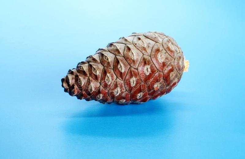 Beautiful Christmas gift decoration pine cone isolated on blue shining background with copy space. Merry Christmas and Happy New royalty free stock image
