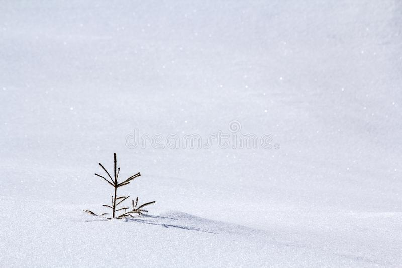 Beautiful Christmas winter landscape. Small young green tender fir tree spruce growing alone in deep snow on mountain slope on. Cold sunny frosty day on clear royalty free stock images