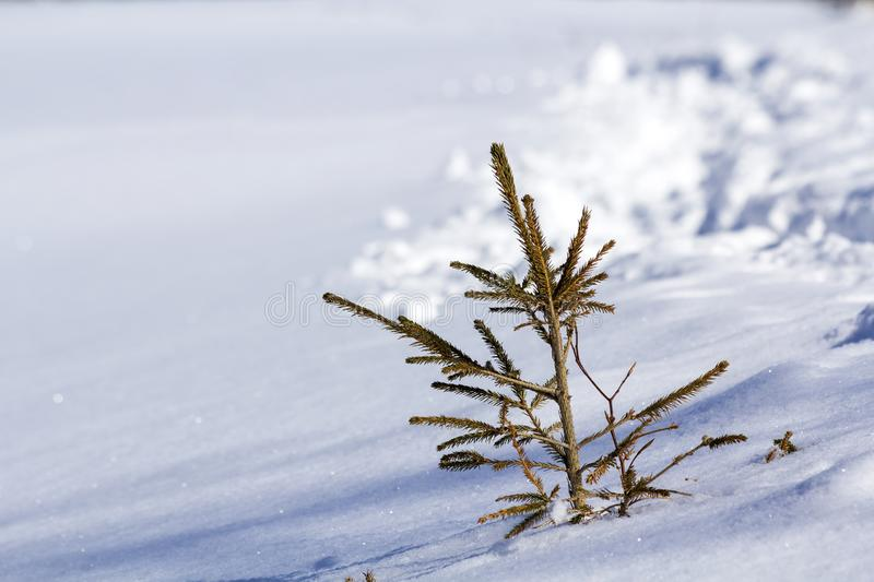 Beautiful Christmas winter landscape. Small young green tender fir tree spruce growing alone in deep snow on mountain slope on. Cold sunny frosty day on clear stock images