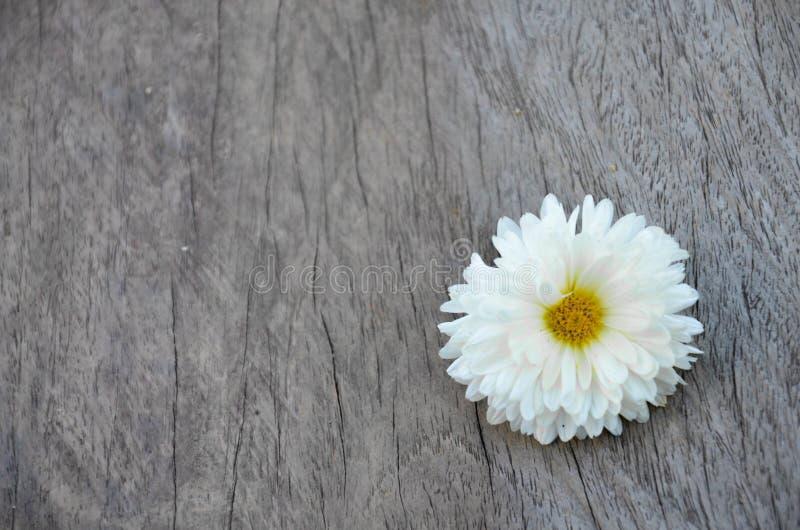 Beautiful Chrysanthemum Flower royalty free stock images