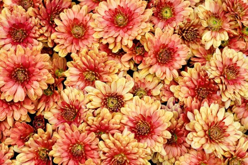 Beautiful chrysanthemum flowers stock photo