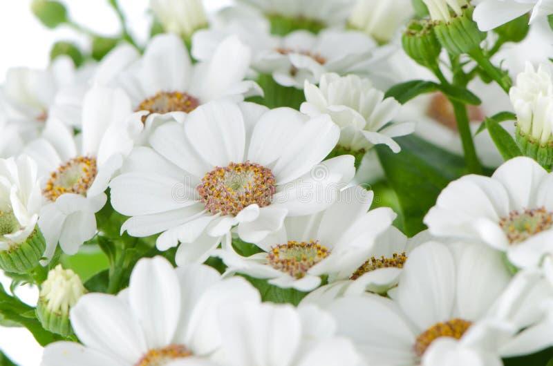 Beautiful Chrysanthemum flowers stock image