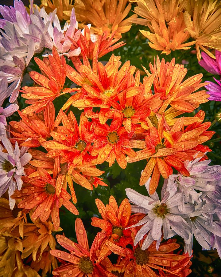 Beautiful chrysanthemum flowers, brown, orange, red, autumn hues, gamma, sun, lots of nearby blossoms, water drops. Background, floral, pattern, summer, nature stock image