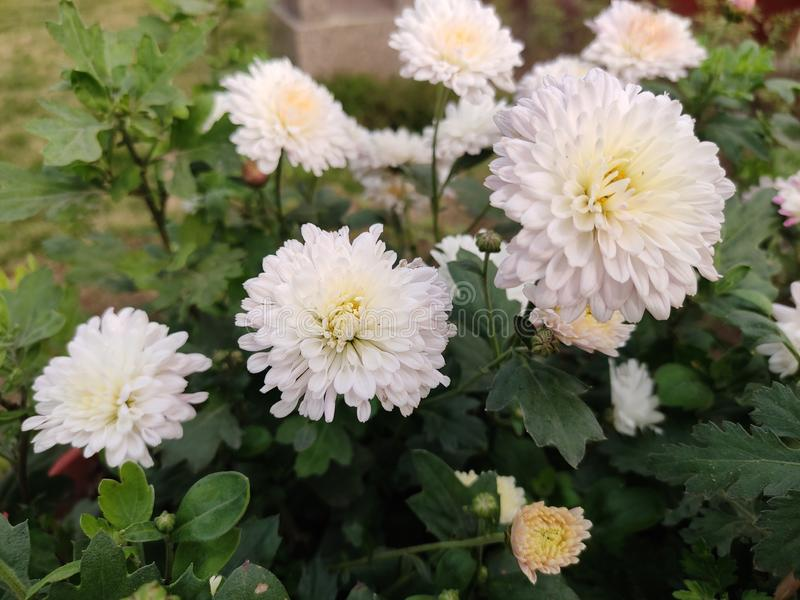 Chrysanthemum flowers, Guldaudi Wallpaper. Beautiful Chrysanthemum Flowers in garden stock images