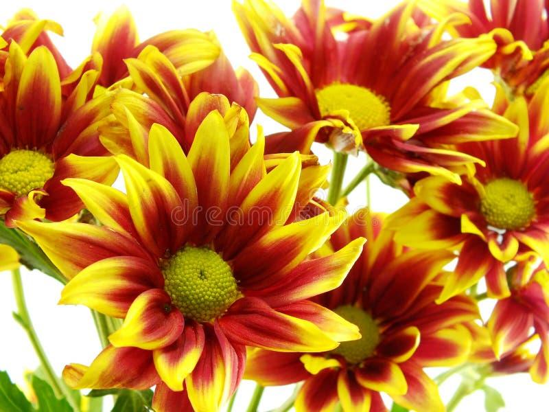 Beautiful chrysanthemums flowers bouquet close up. Beautiful chrysanthemums yellow flowers bouquet royalty free stock photo