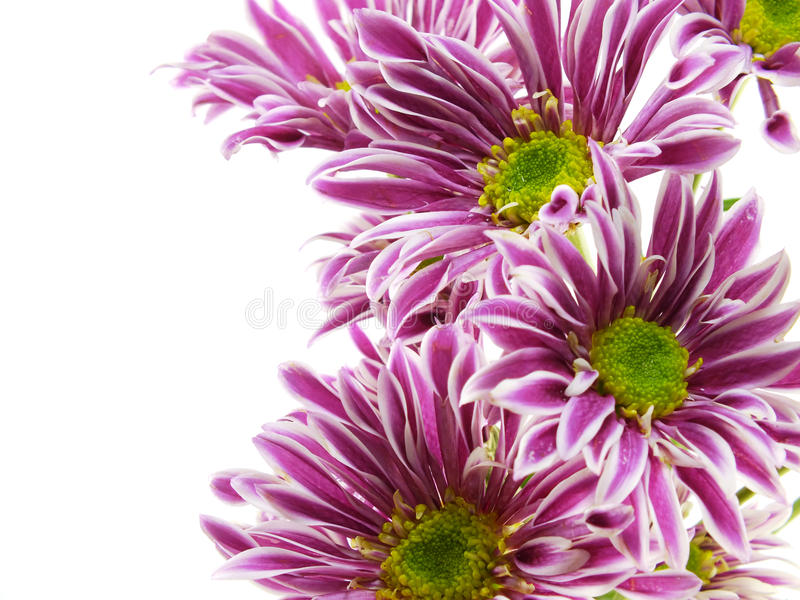 Beautiful chrysanthemums pink flowers bouquet close up royalty free stock images