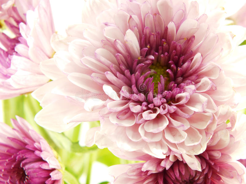 Beautiful chrysanthemums pink flowers bouquet close up stock photo
