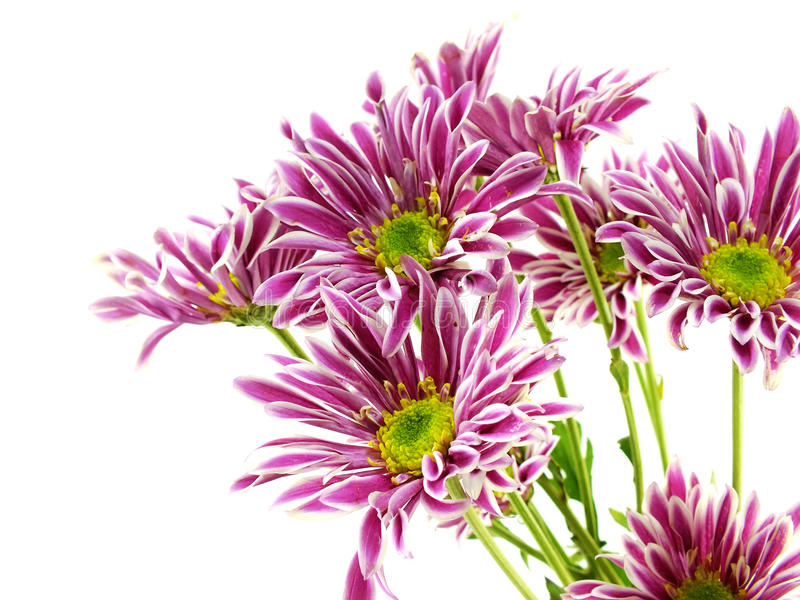 Beautiful chrysanthemums pink flowers bouquet close up. Beautiful chrysanthemums pink flowers bouquet on white background stock images