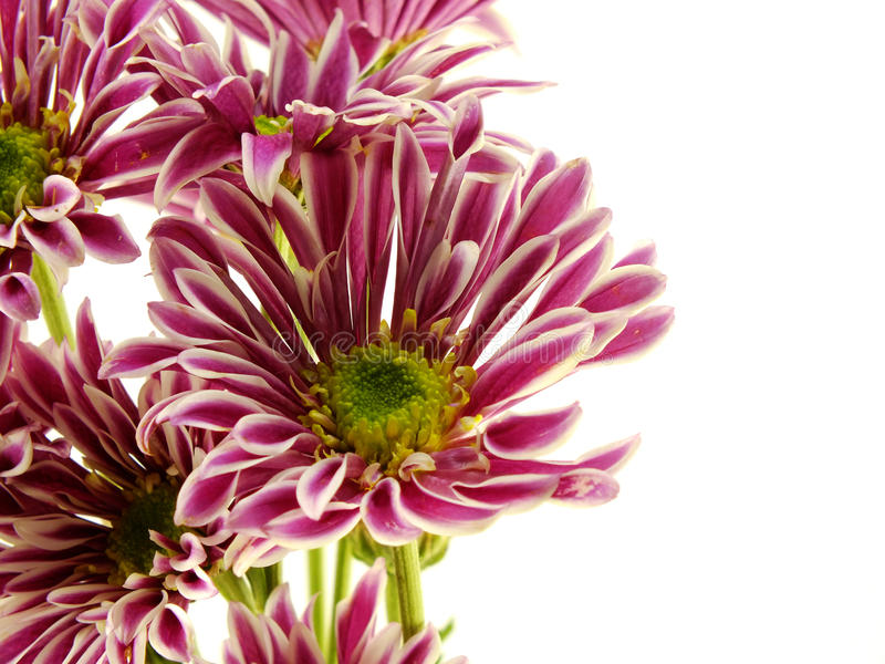 Beautiful chrysanthemums pink flowers bouquet close up. Beautiful chrysanthemums pink flowers bouquet on white background royalty free stock photo