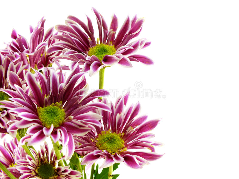 Beautiful chrysanthemums pink flowers bouquet close up. Beautiful chrysanthemums pink flowers bouquet on white background royalty free stock image