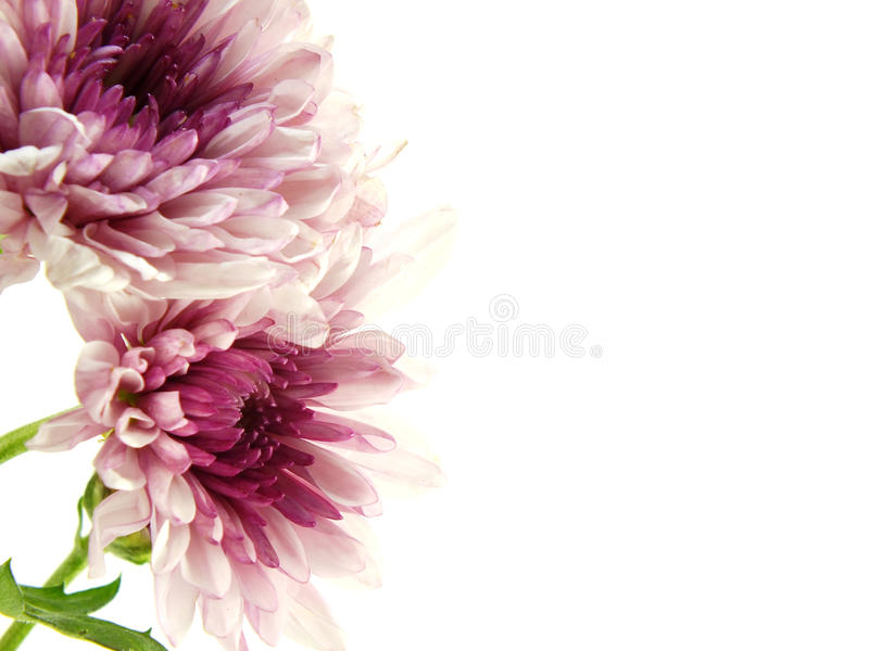 Beautiful chrysanthemums pink flowers bouquet close up stock photography