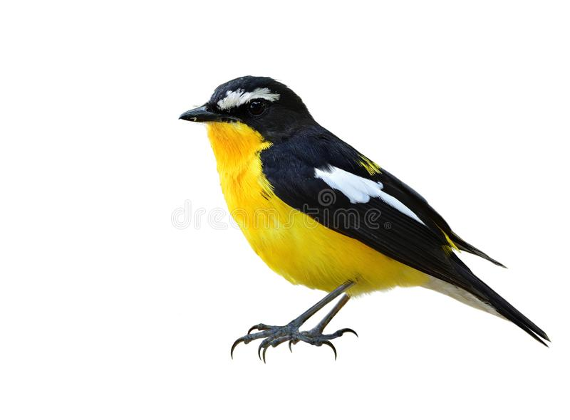 Beautiful chubby yellow and black bird with white feathers on hi royalty free stock photo