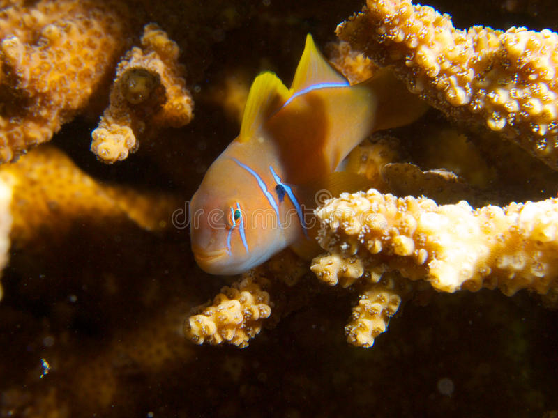 Beautiful citron goby. One of the many beautiful citron gobies that inhabit the abundant Acropora table corals of Ad Dimaniyat Islands, Oman stock image