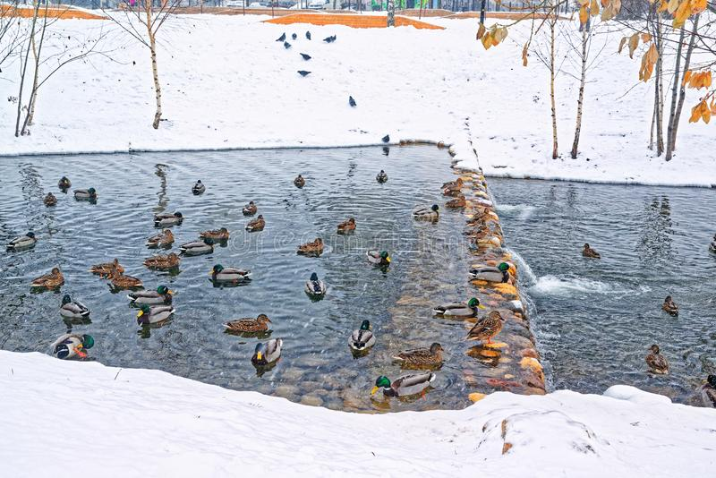 Beautiful city park on the outskirts of the city. Winter, gloomy sky and heavy snow. Ducks hibernate in an unfrozen stream. A beautiful city park on the royalty free stock photography