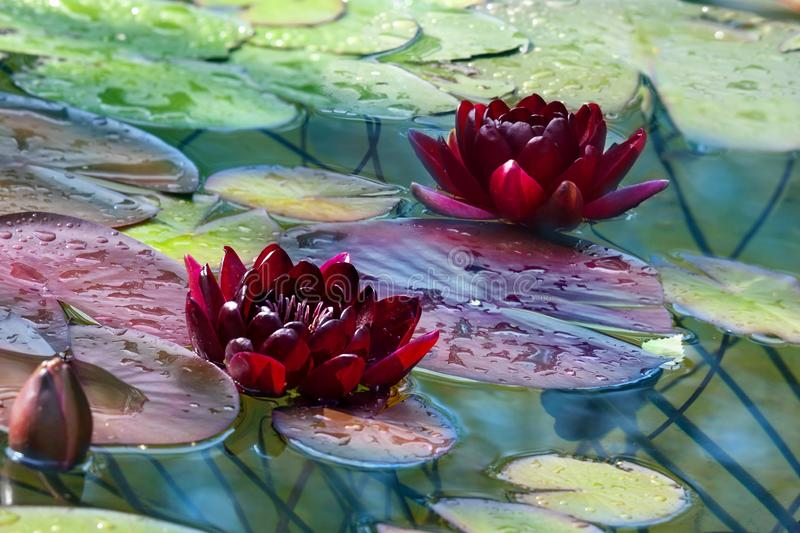 Beautiful claret lilies with buds in a pond. Two claret lilies with bud in a pond in sunny day stock photos