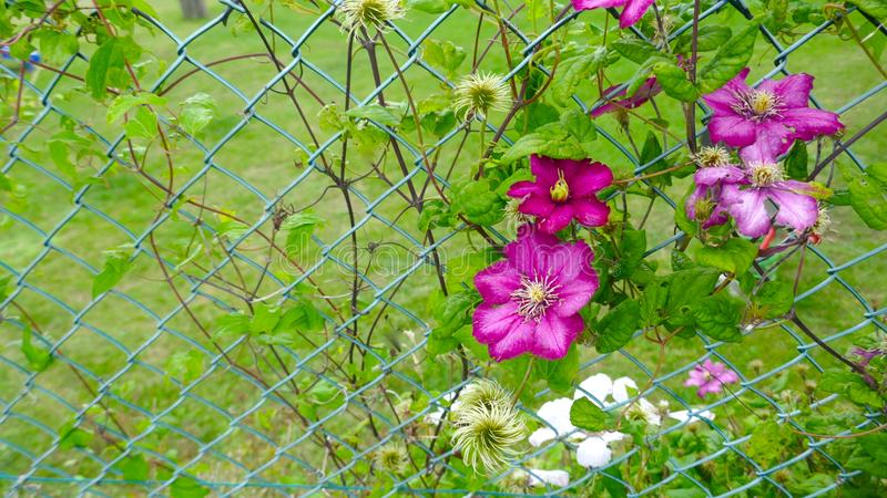Clematis Ranunculaceae Delicate, pink flowering climber, climbs up a chain link fence. Beautiful Clematis Ranunculaceae Delicate, pink flowering climber, climbs royalty free stock photos